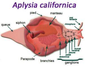 Anatomie de l'aplysie des mers